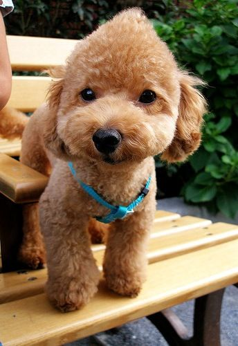 Want He Has A Little Faux Hawk Toy Poodle Haircut Toy Poodle