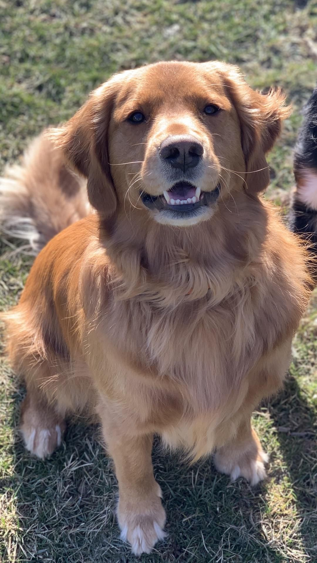 Rooney Enjoying His Sunday Funday In 2020 Golden Retriever Dogs