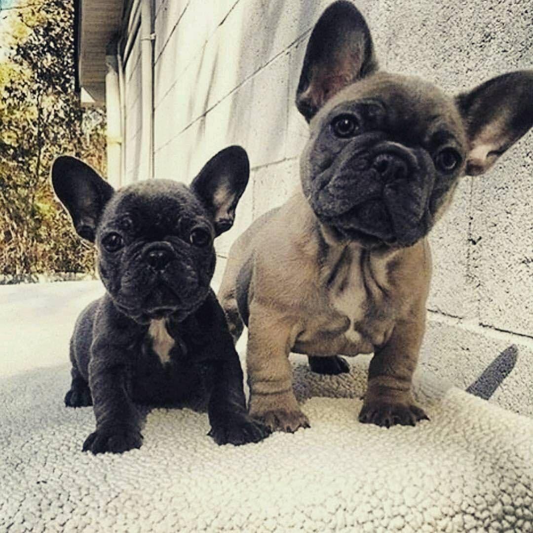 Adorable French Bulldog Puppies Franzosische Bulldoggenbabys