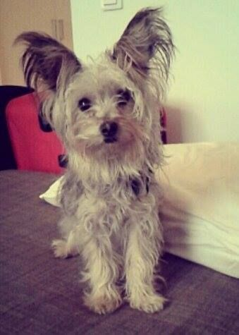 My Dog Samur This Is What A Yorkie Papillon Mix Looks Like Papillon Mix Terrier Breeds Yorkie Mix
