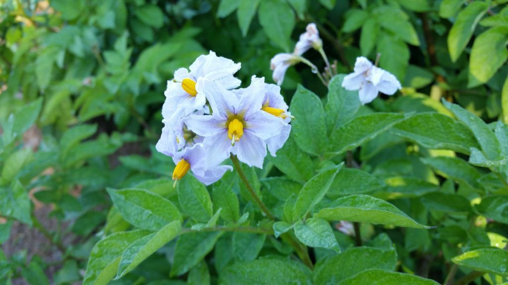 How often should you water potato plants how to grow
