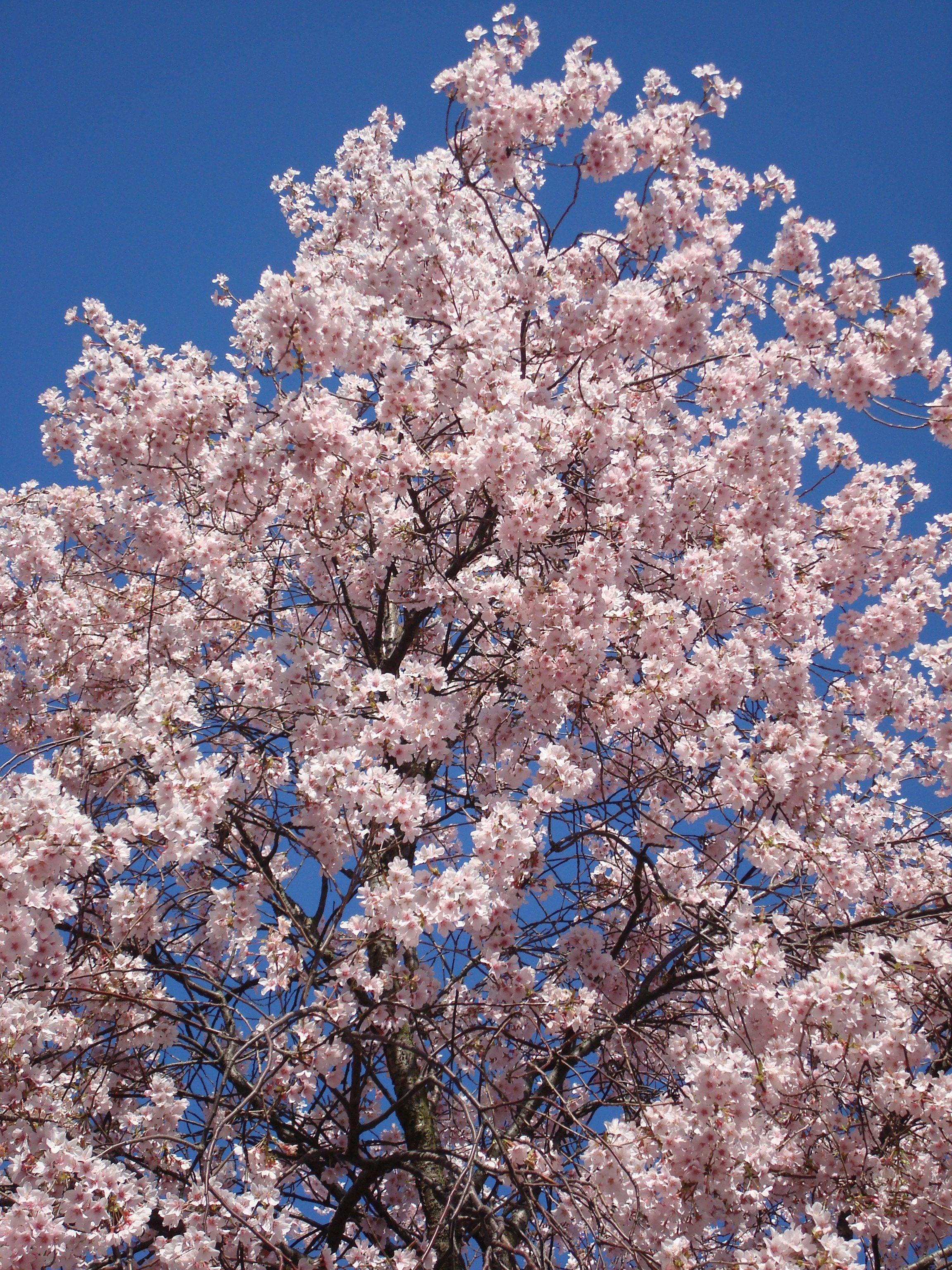 Victoria Bc Canada Cherry Blossoms West Coast Canada Vancouver Island Cherry Blossom Tree