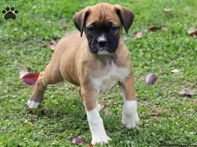 Boxer Pug Mix Puppies Zoe Fans Blog Pitbull Mix Puppies Boxer