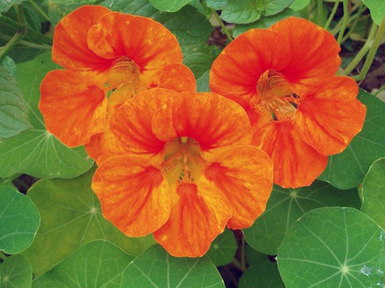 Seeds Curly Nasturtium Orange Emperor (Tropaeolum majus