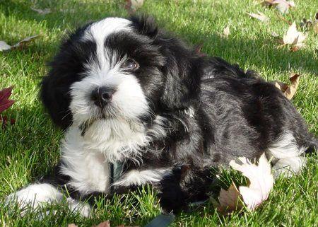 Norman The Tibetan Terrier Tibetan Terrier Terrier Puppies