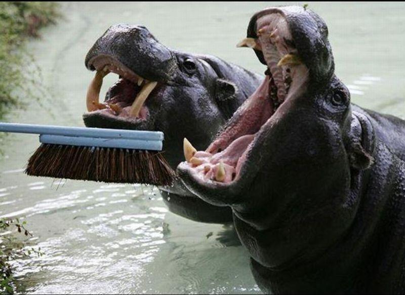 fogkefe Dental humor, Hippopotamus, Kids dentist