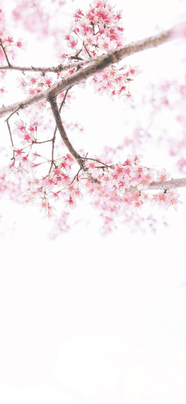 Cherry Blossom Wallpaper Iphone Xs Max Cherry Blossom Wallpaper Cherry Blossom Wallpaper Iphone Beautiful Wallpapers Attractive iphone xs max wallpaper girly
