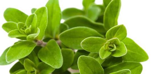 ما هي فوائد الزعتر Plants Health
