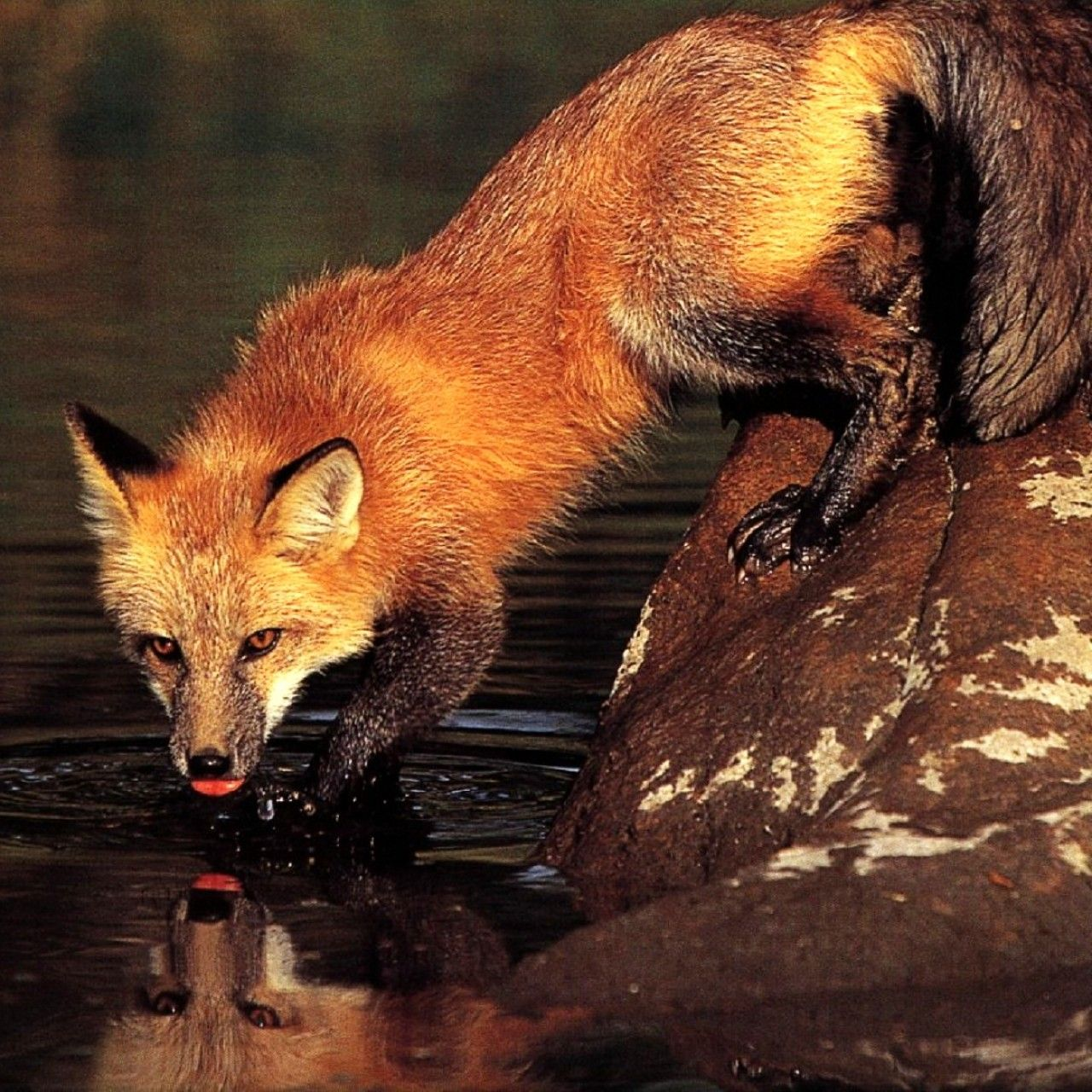 fox at the water | Red fox water mirror - Wallpapers bah