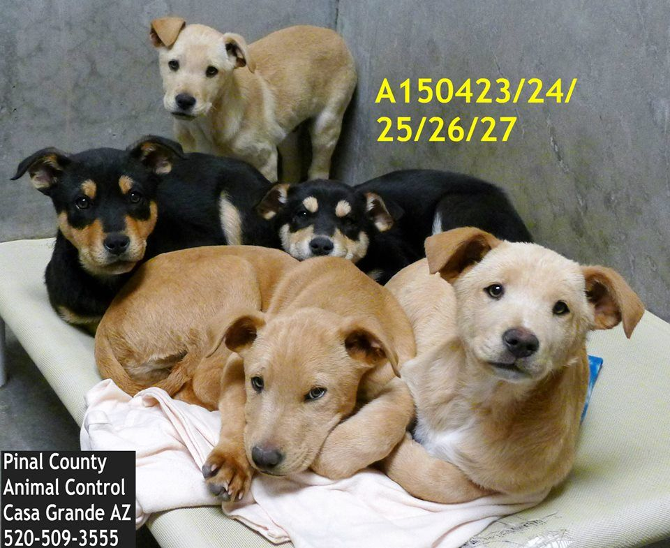 UNKNOWN FATE(s) SUPER URGENT at Pinal County Kill Shelter