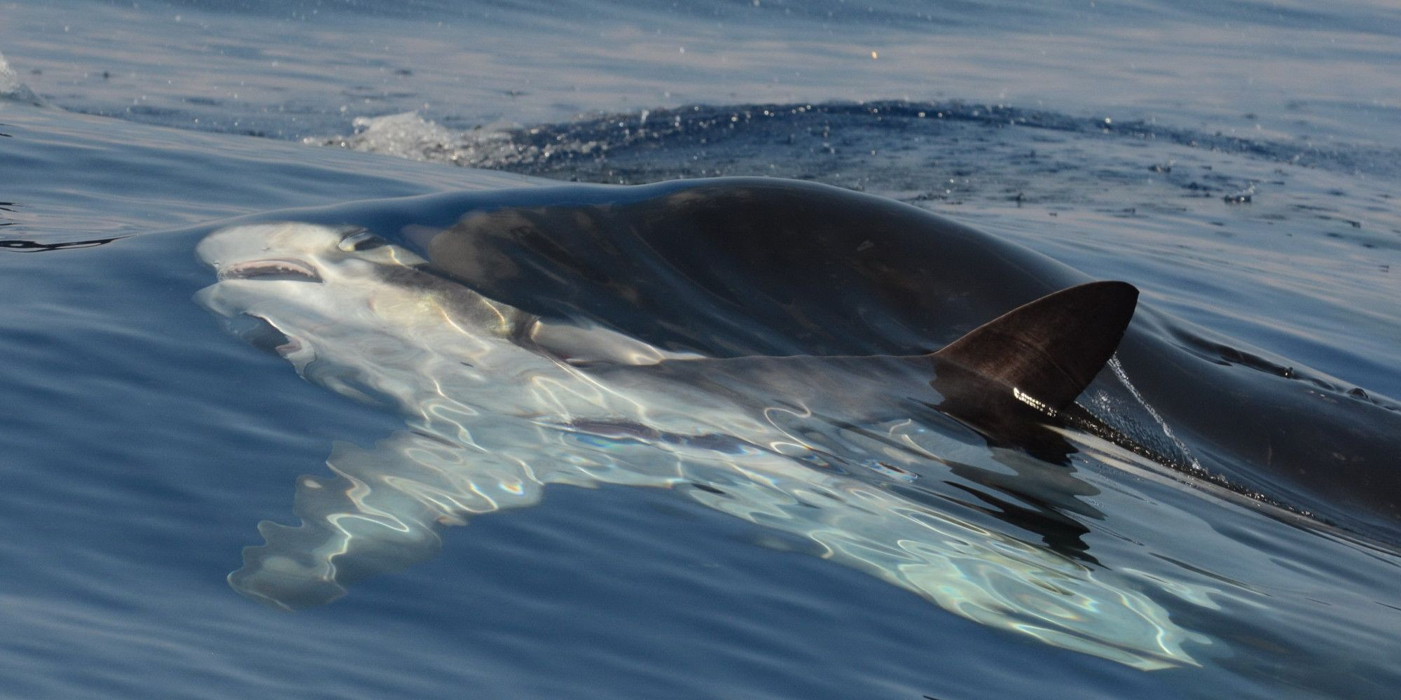killer whale attacks - HD2000×1000