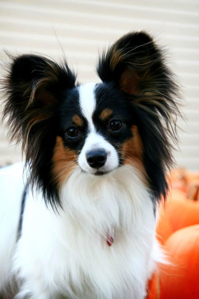 Papillons Rule Top Dog Breeds Cute Dogs Breeds Papillon Dog