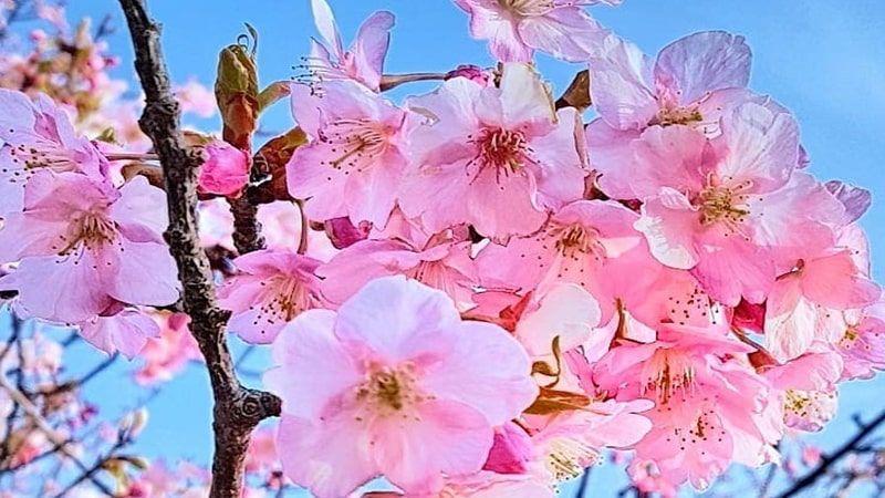 Gambar Bunga Sakura Kuning Kepo Soal Ciri Dan Fakta Menarik Bunga Sakura Mampir Sini Aja Bunga Sakura Bersemi Di Muka Kunin Gambar Bunga Bunga Bunga Sakura