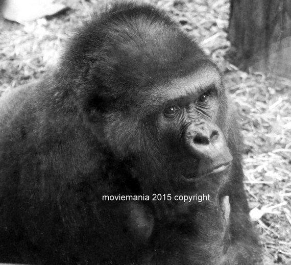 Thinking Ape Silver back Gorilla Animal Photo by moviemania