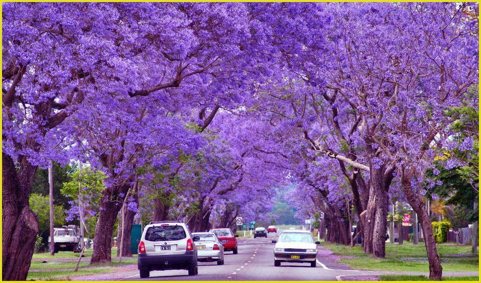 Jacaranda Trees Grafton, NSW, Australia Spectacular
