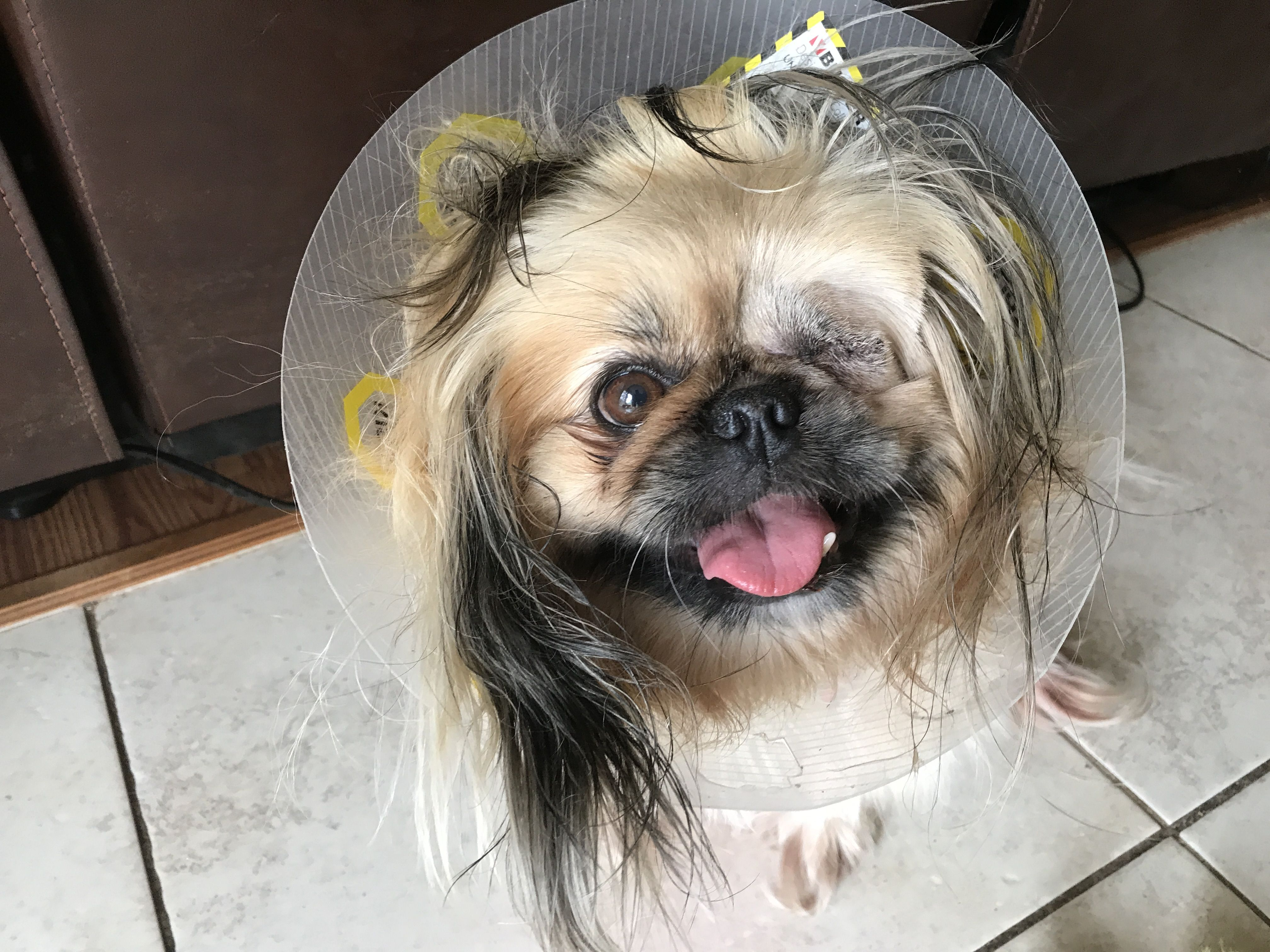 Precious About A Week After Having Her Eye Removed Pekingese
