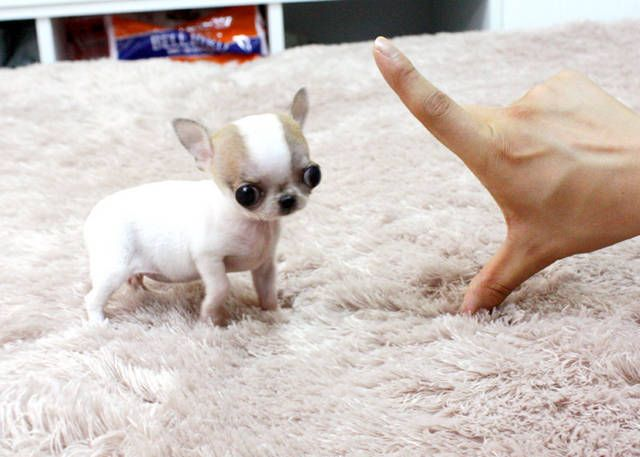 Chihuahua Newborn Puppies Little Chihuahua Puppies For Sale For Sale Adoption From King Chihuahua Puppies Chihuahua Puppies For Sale Teacup Chihuahua Puppies
