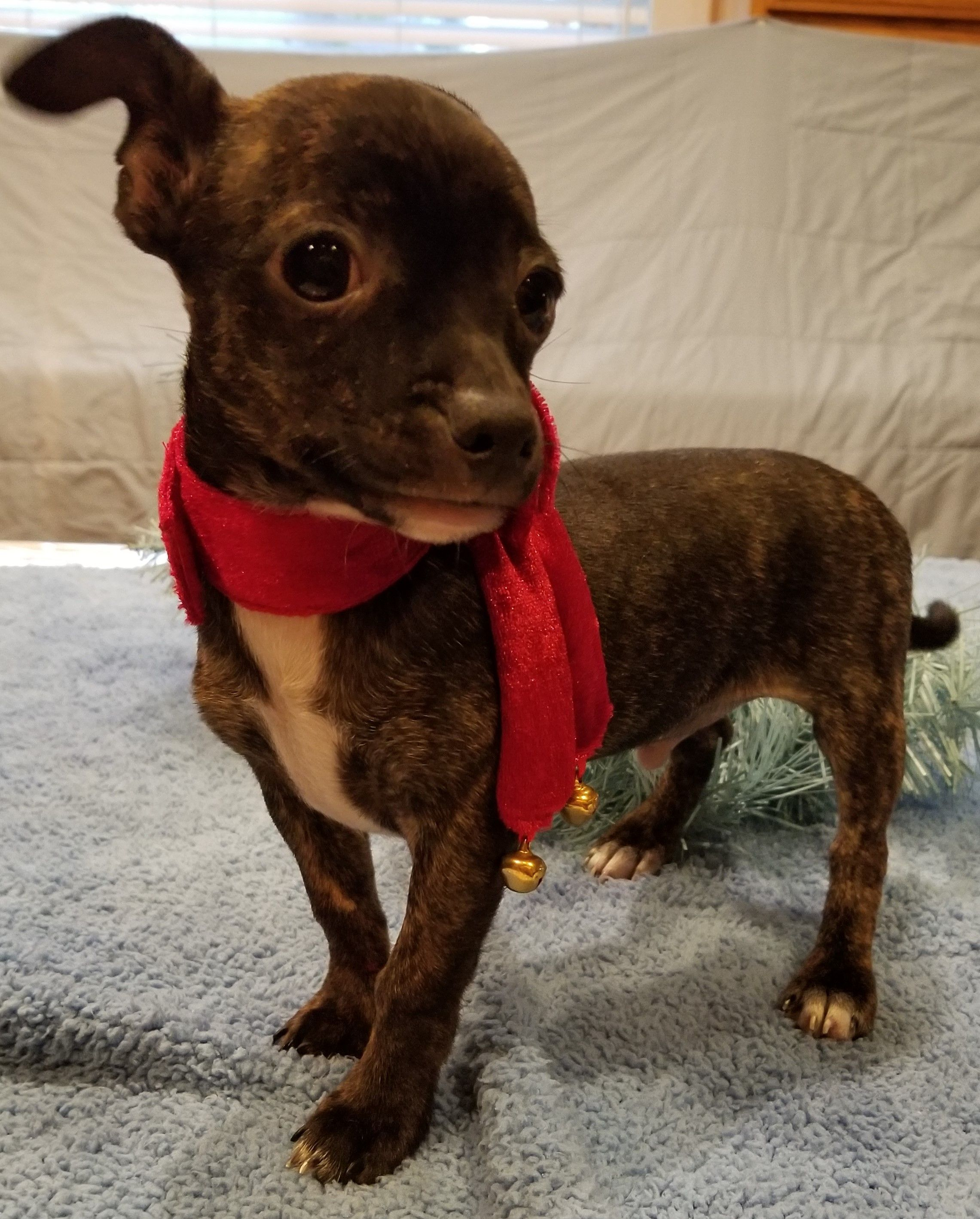 Chihuahua Dog For Adoption In Stockton Ca Adn 738169 On