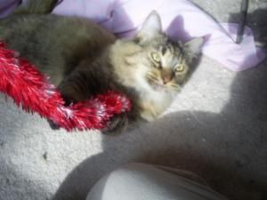 Adopt Blondie On Petfinder Gorgeous Cats Norwegian Forest Cat Brindle