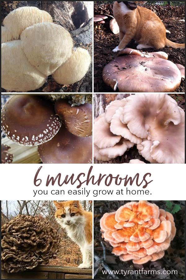 6 Gourmet and Medicinal Mushrooms You Can Easily Grow In Your Garden. Some of the most delicious mushrooms in the world are also some of the best medicinal mushrooms. Learn how to grow your own at home!