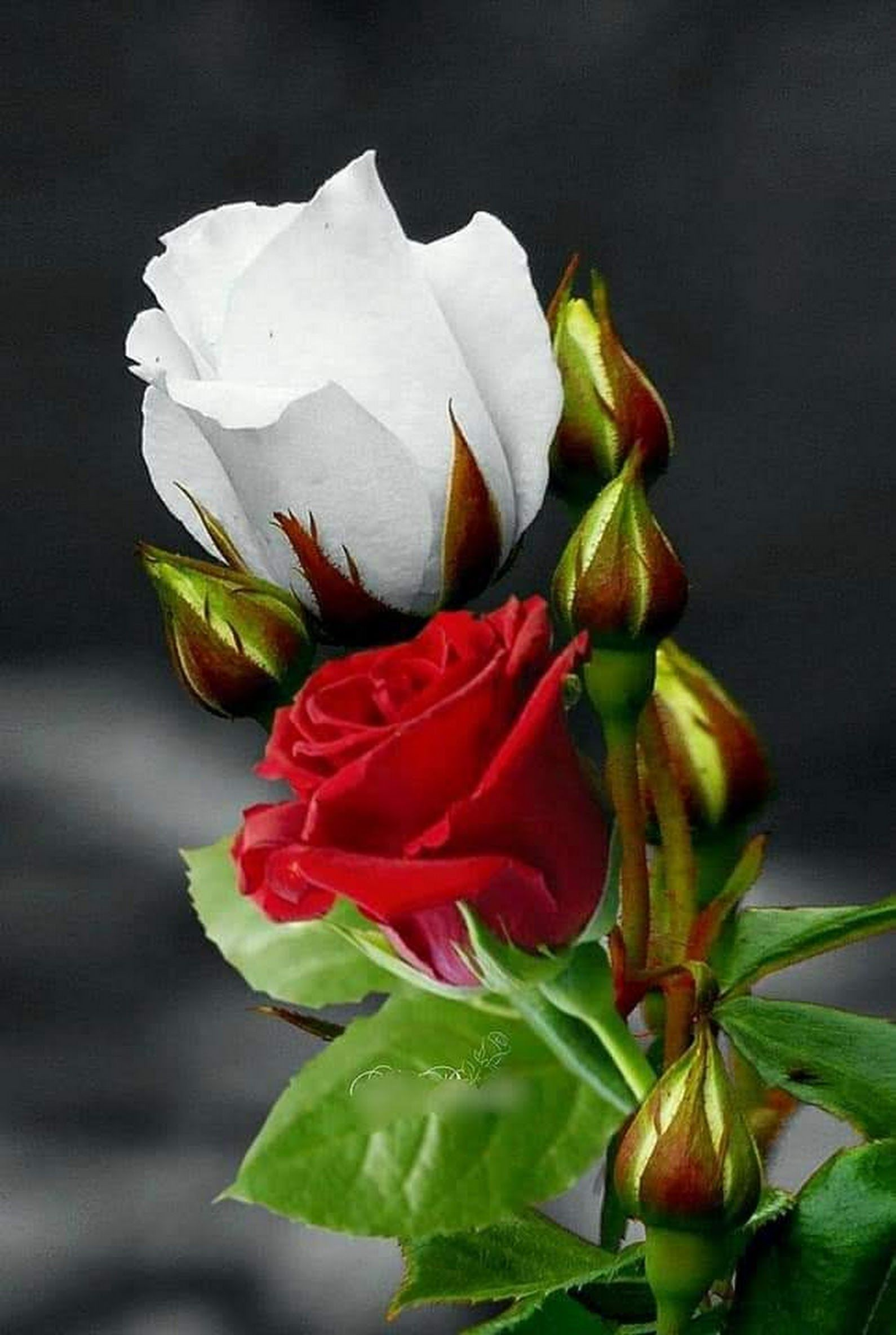 Red Means A Loving Heart Up To Sacrifice White Means A Pure
