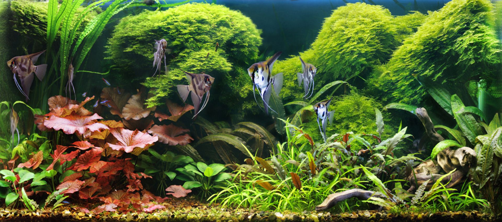 Large Freshwater Aquariums Stocked With Fish NYC Okeanos Aquascaping