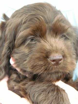 Pin By Cindy Carlisle On Baby Animal Obsessed Cockapoo Puppies Cute Animals Your Pet