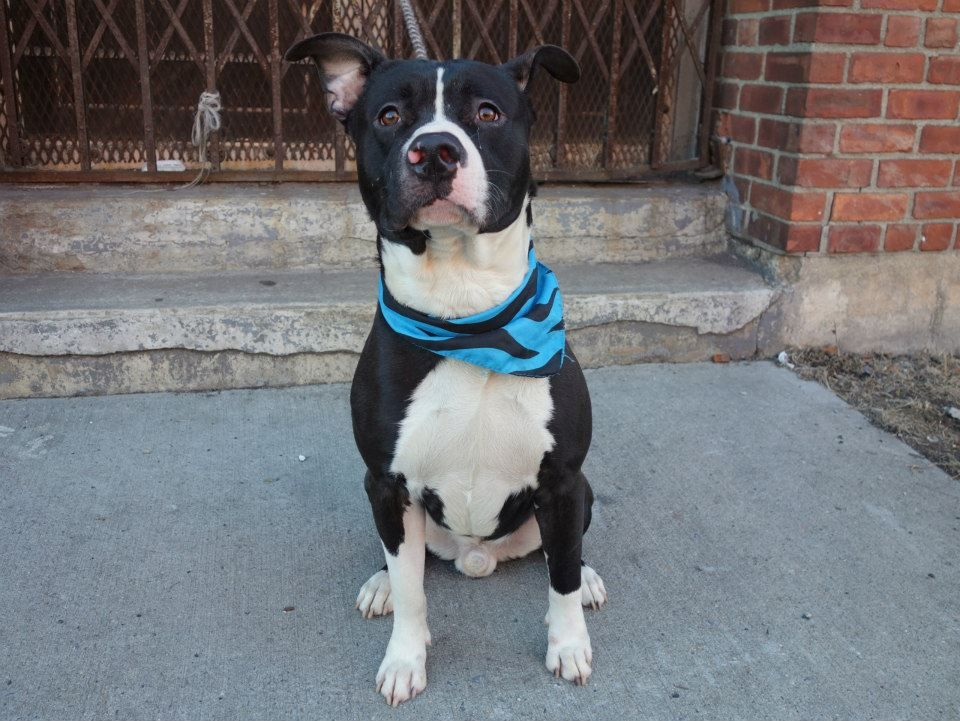URGENT - Brooklyn Center   MACK - A0989538   MALE, BLACK / WHITE, PIT BULL, 2 yrs  STRAY - STRAY WAIT, NO HOLD Reason STRAY  Intake condition NONE Intake Date 01/14/2014, From NY 11433, DueOut Date 01/17/2014, I came in with Group/Litter #K14-165580. MAIN THREAD: https://www.facebook.com/photo.php?fbid=743323635680518&set=a.740759632603585.1073742857.152876678058553&type=3&theater