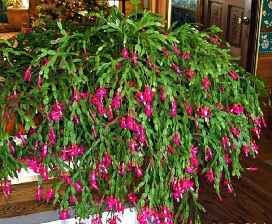 49++ Why won t my christmas cactus bloom information