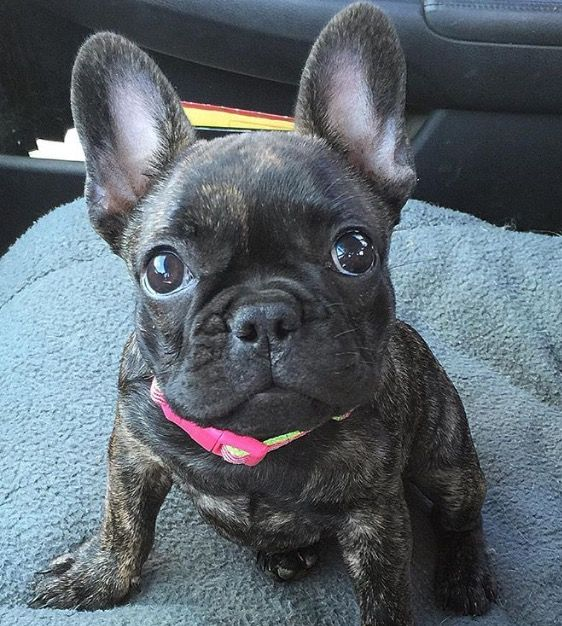 There Are Trees Everywhere Bulldog Puppies French Bulldog Puppies Brindle French Bulldog
