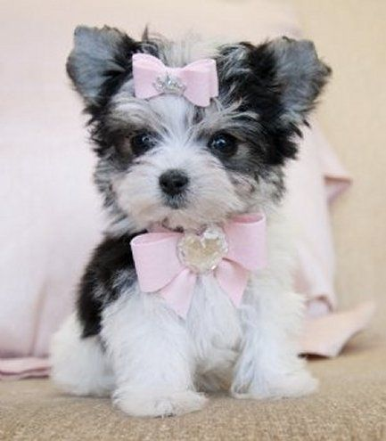 Adorable Cute Little Black White Puppy I Want Her