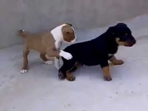 Rottweiler Vs Pitbull Best Fight Ever Pitbulls Rottweiler Rottie