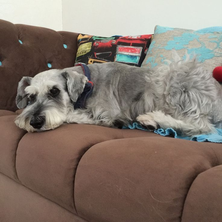 12 Realities New Schnauzer Owners Must Accept Lap Dogs Schnauzer Puppy Schnauzer