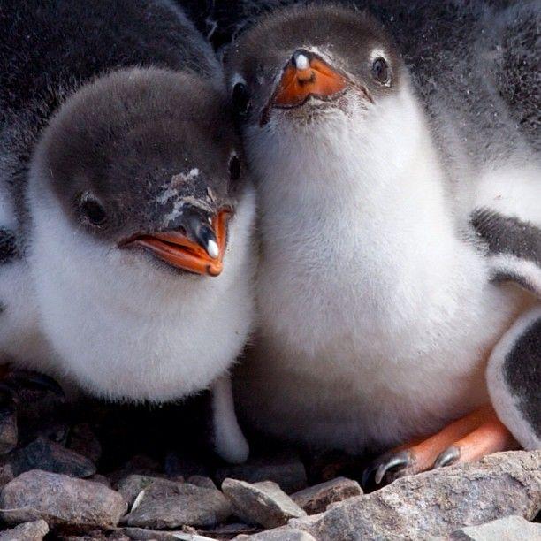 Penguin babies. AWWWWWWWWWWWWWWWWWW!!!!!!!