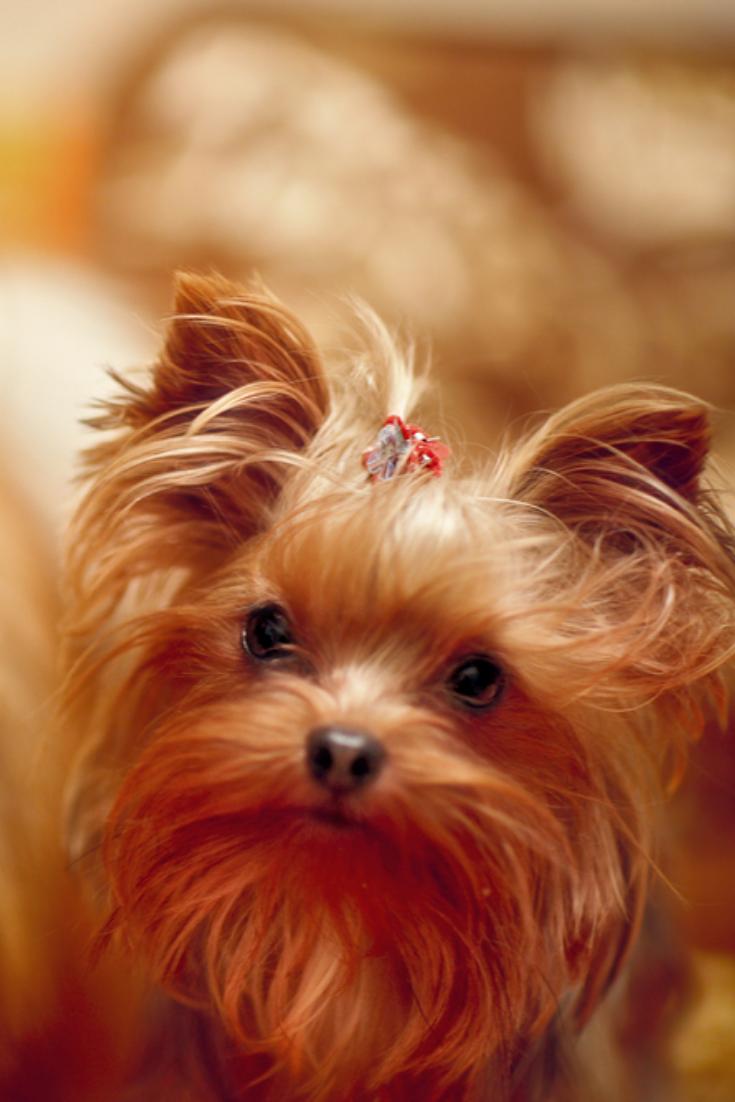 Orange Color Dogs Yorkshireterrier In 2020 Yorkshire Terrier Puppies Yorkshire Terrier Terrier