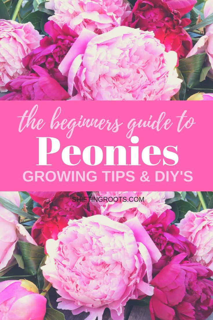 Photo of Beginners Guide to Peonies: Growing Tips and Beautiful DIYs.