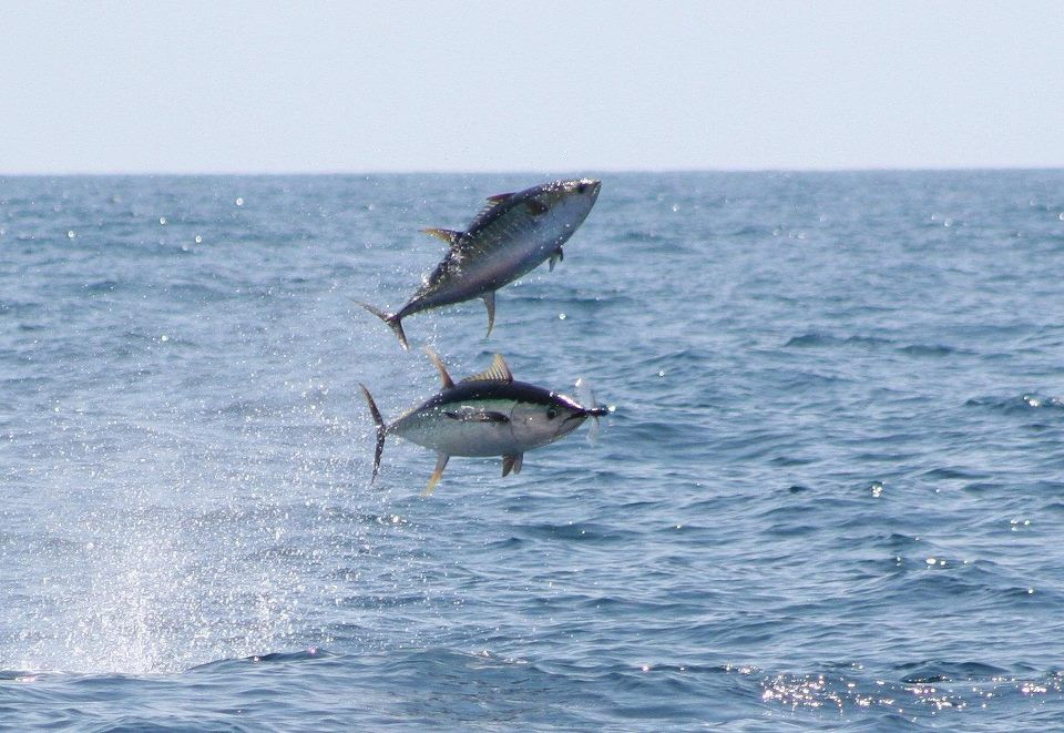 It Is Well Known That Flying Fish Make Great Bait For Big