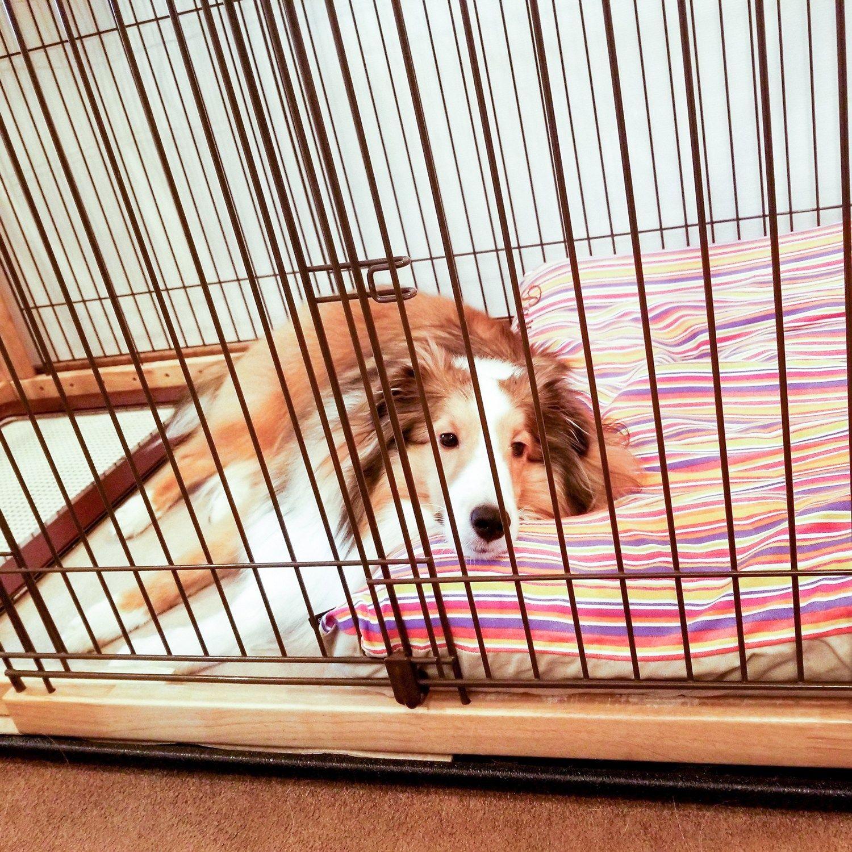 シェルティのパティくん2歳 犬のベッド アンベルソ公式ブログ 犬 大型犬 小型犬
