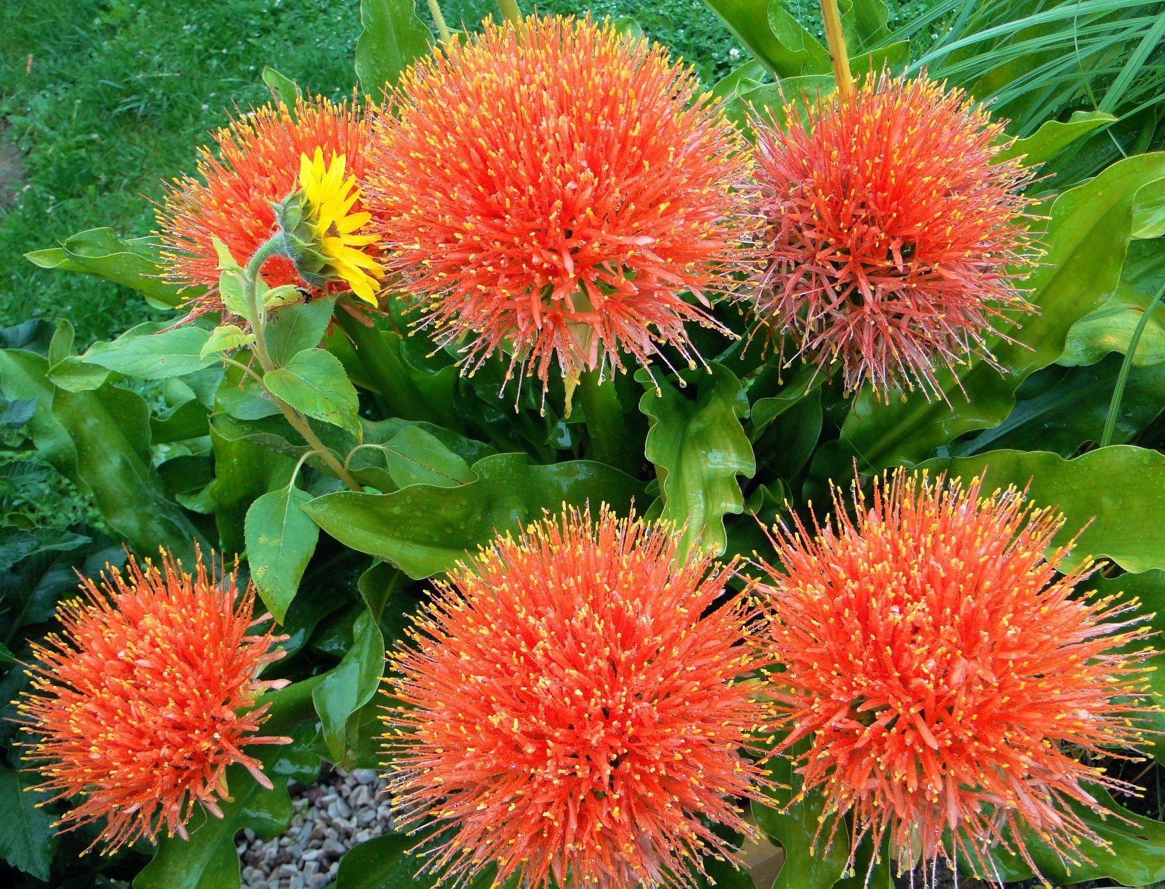 Krasnokwiat Katarzyny Plants Garden