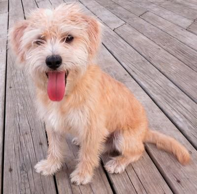 Cairmal Cairn Terrier Mix Jack Russell Terrier Puppies Terrier Mix