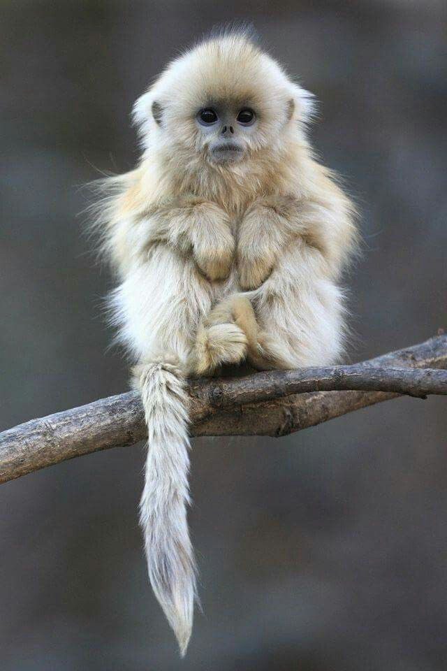 The Beautiful Golden Snub Nosed Monkey From Rainforest