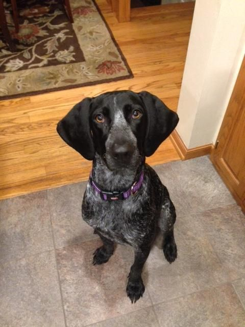 Alma Is An Adoptable Bluetick Coonhound Searching For A Forever