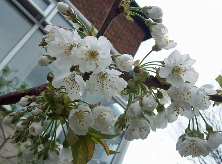 Cherry Regina, Apr 20. http://www.mandycanudigit.co.uk/#!plum-cherry-almond/c1pqb