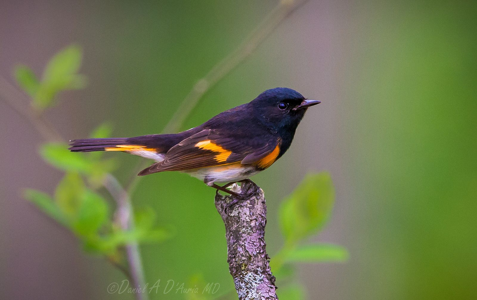 Start To The End 7193 Breeds Animals Wild Flycatcher