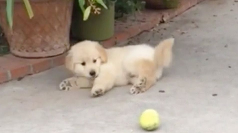 Golden Retriever Puppy Is Easily And Adorably Distracted Puppies
