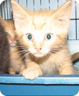 Lawrenceburg Ky Domestic Shorthair Meet 4260 Daffy A Kitten For Adoption Pets Lily Cat Kittens