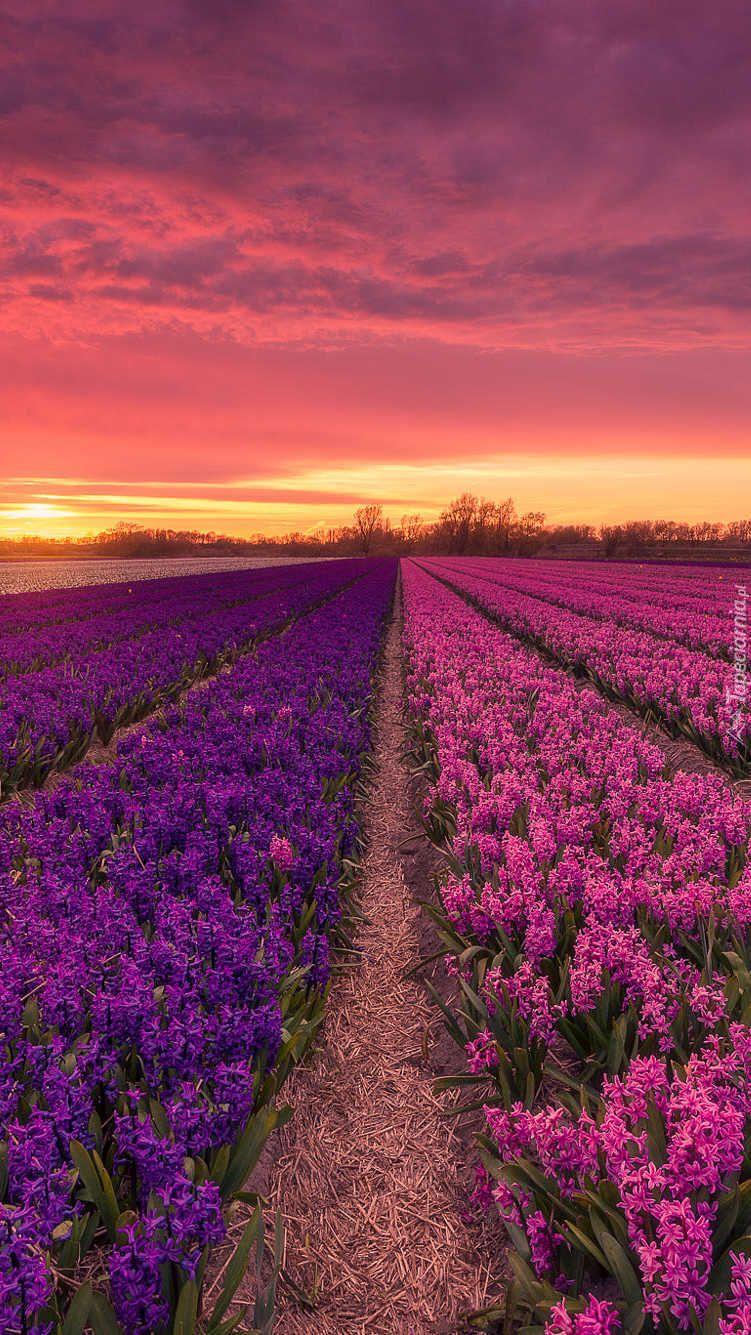 Zachod Slonca Nad Polem Hiacyntow Tapeta Na Telefon Flowers Photography Wallpaper Beautiful Flowers Wallpapers Scenery Wallpaper