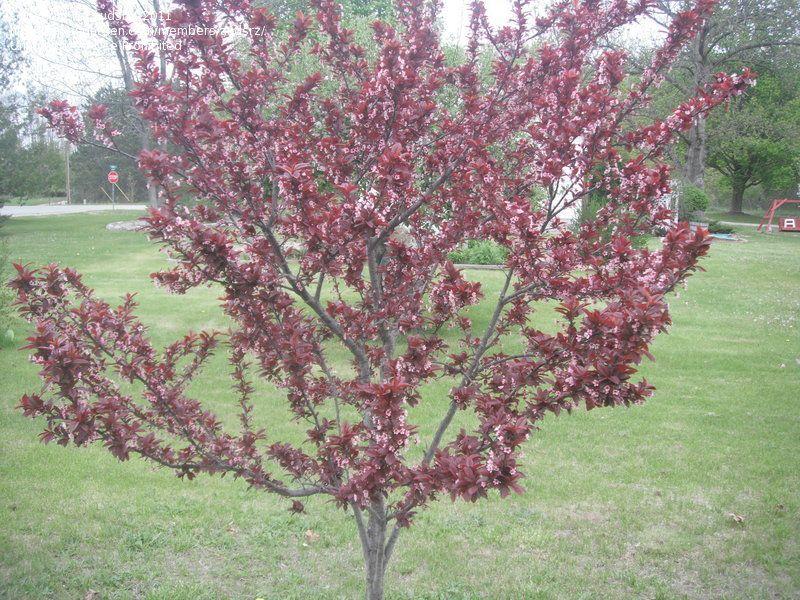 Purple Leaf Sand Cherry Prunus X Cistena Purple Leaf Sand Cherry Q Garden Prunus