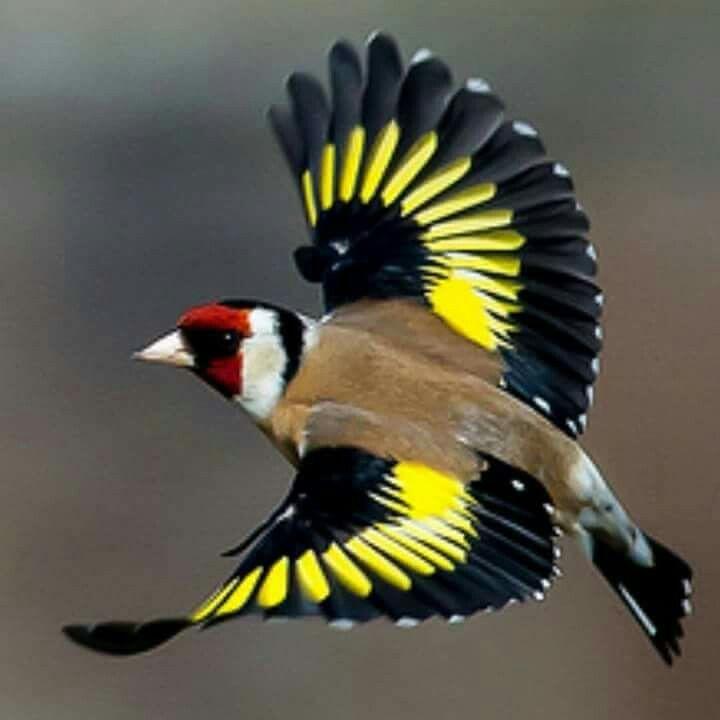 Stillids Smukke Fugle Billeder Dyr