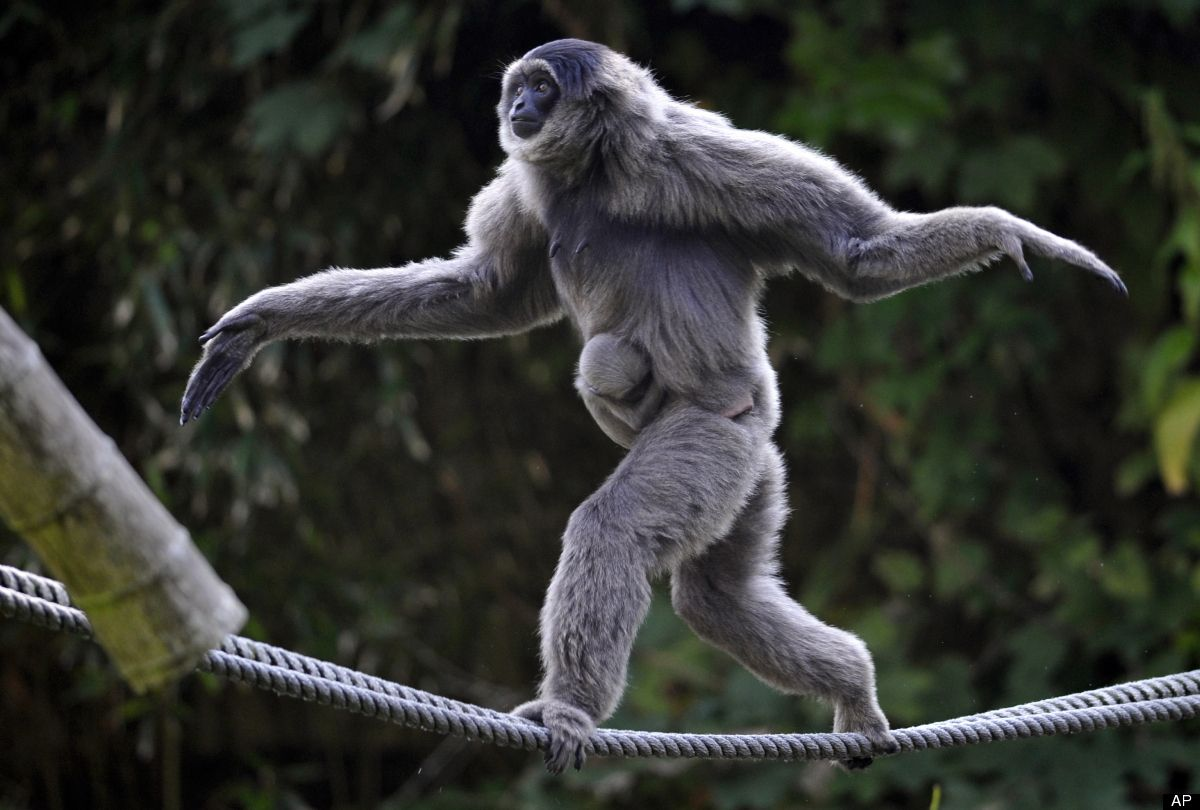 Female silvery gibbon pangrango hylobates moloch balances with her four week old baby on ropes in their compound at the hellabrunn zoo in munich